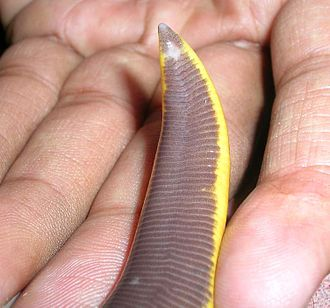Ichthyophiidae - The vent is an important taxonomic feature for Ichthyophis identification