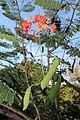 Caesalpinia pulcherrima (11033585844).jpg
