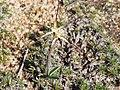 Caladenia dimidia habit.jpg