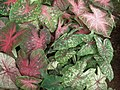 Caladium from Lalbagh garden 8735.JPG