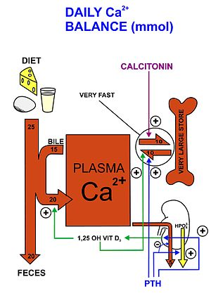 the importance of calcium ions Ionized calcium and cell function the most important role of calcium in blood is to circulate and be available to tissues every cell of the body uses calcium, but certain excitable cells such as heart cells, muscle cells and neurons are particularly dependent on calcium for their function.