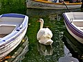 Caldas da Rainha, Swan and boats (3966548401).jpg