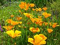 California Poppies American River.jpg