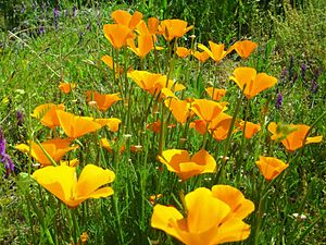 South Fork American River - California Poppies