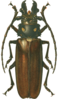 Large brown-black beetle with long antennae and developed claws