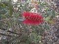 Callistemon comboyensis flower.jpg