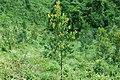 Calophyllum brasiliense Mococa Brasil 001.jpg