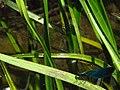Calopteryx IMG 5479.jpg