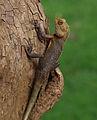 Calotes versicolor - Sri Lanka.jpg