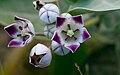 Calotropis procera flowers.jpg