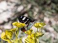 Calvisson-Sylvain azuré (limenitis reducta)-Euphorbe-20140516.jpg
