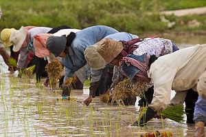 Economy of Cambodia - Cambodians planting rice, 2004.