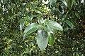 Camellia reticulata kz01.jpg