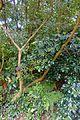 Camellia saluenensis - Trewidden Garden - Cornwall, England - DSC02372.jpg