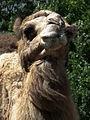 Camelus dromedarius Kopf Zoo Landau Juni 2011.JPG
