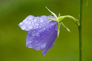 Campanula (Thunb.) Lindl.: flowering shoot, ph...