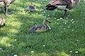 Canada goose - Branta canadensis (42022254771).jpg