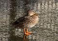 Canard sur la glace au Parc de Bercy.jpg
