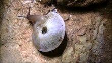 File:Canariella planaria.webm
