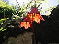 Canarina canariensis aragorn05.JPG