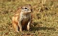 Cape ground squirrel, Xerus inauris, at Krugersdorp Game Reserve, Gauteng, South Africa (26874440983).jpg