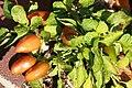 Capsicum annuum Tangerine Dream 3zz.jpg