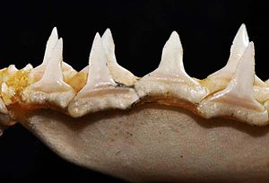 Oceanic whitetip shark - Lower teeth
