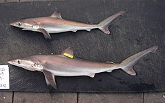Two bronze-colored sharks with long pointed snouts, large eyes, and small first dorsal fins lie on their sides on a pier