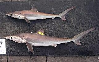 Night shark species of fish