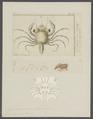 Carcinus moenas - - Print - Iconographia Zoologica - Special Collections University of Amsterdam - UBAINV0274 095 02 0007.tif