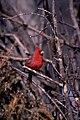 Cardinal Rouge.jpg