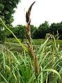 Carex acutiformis inflorescens (08).jpg