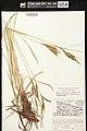 Carex elata herbarium (02).jpg