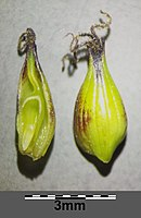Carex melanostachya sl27.jpg