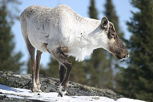 caribou in spring in the north of Quebec