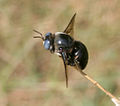 Carpenter bee (Xylocopa species) W IMG 3519.jpg