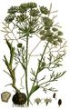 Carum bulbocastanum - English botany ed. 3 vol. 4 t. 583.png