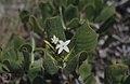 Casasia clusiifolia, 7 year apple. Little San Salvadore. Salt crystals (38839559472).jpg