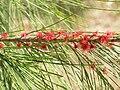 Casuarina equisetifolia EnfoqueFlores 26-10-2010 ParqueElPilarCiudadReal.jpg