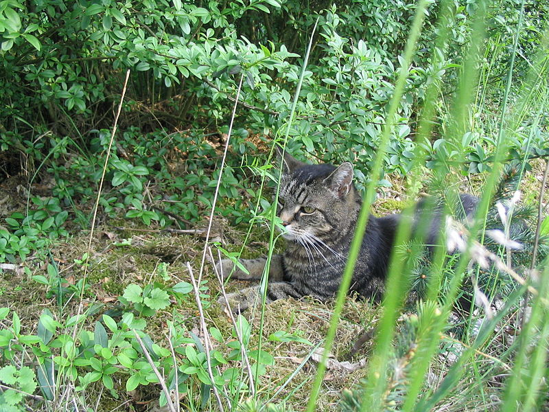 File:Cat in nature.JPG