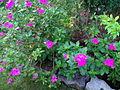 Catharanthus roseus Malaysia 2.JPG