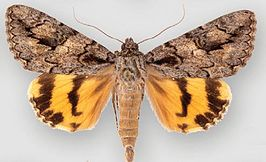 Catocala johnsoniana.JPG