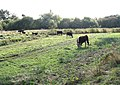Cattle grazing by Rockland Broad - geograph.org.uk - 1551092.jpg