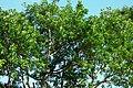Caucho (Ficus elasticus) (14910650112).jpg