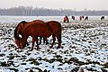 Cavalli al tramonto - panoramio.jpg