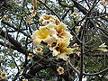 Ceiba chodatii flowers.jpg