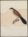 Centropus monachus - 1835 - Print - Iconographia Zoologica - Special Collections University of Amsterdam - UBA01 IZ18800157.tif