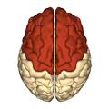 Cerebrum - frontal lobe - superior view.png