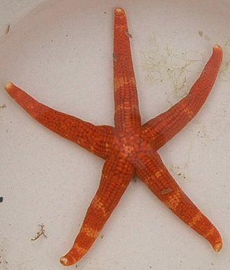 Valvatida - Image: Certonardoa semiregularis ja 01
