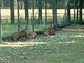 Cervi nobili del parco della preistoria 01.jpg